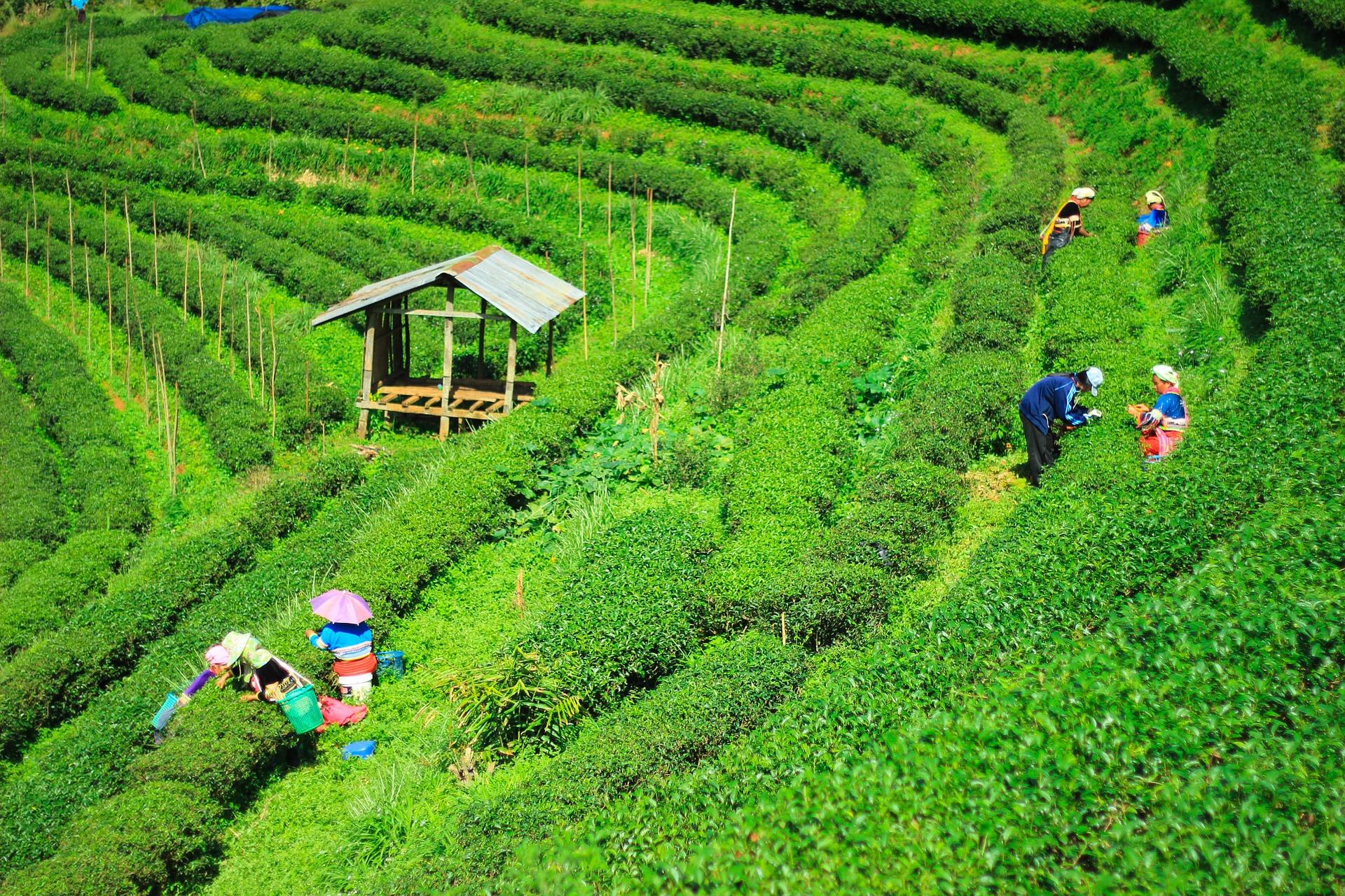 tea-plantations-1571586_1920